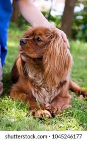 Child's hand stroking a small brown dog lying in the grass, Cavalier King Charles Spaniel breed.