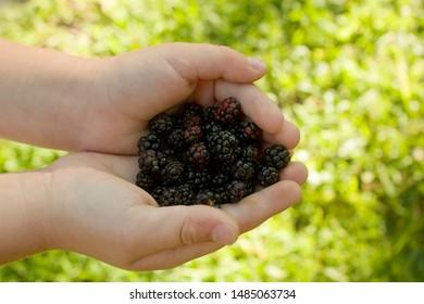 A Child's Hands Holding Blackberries