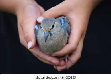 A child's hands are seen holding a bird (mourning dove).  The bird might have an injured wing.