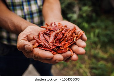 Chile Guajillo, mexican dried chili pepper, Assortment of chili peppers in farmer Hands in Mexico