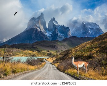 Chile, Patagonia, Torres del Paine National Park - Biosphere Reserve. Attentive guanaco on the lake Pehoe