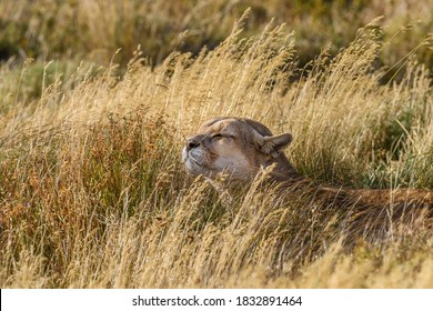 Chile, Torres del Paine National Park. Puma sits relaxed in tall grass.