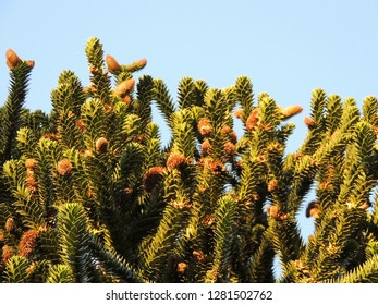 Chilean Araucaria, Araucaria araucana, against blue sky