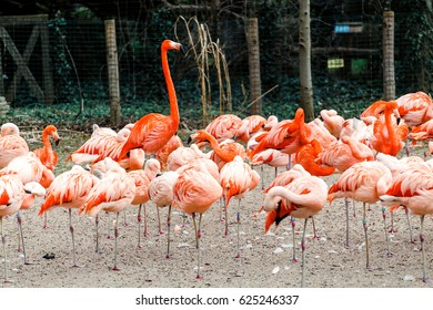 Chilean and Caribbean Flamingo herd on the beach