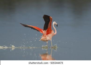 Chilean Flamingo, Phoenicopterus chilensis, La Pampa , Argentina