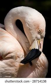 Chilean Flamingo portrait against dark background