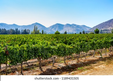 Chilean organic vineyards in Maipo Valley , close to the capital Santiago de Chile, sunny day and mountains