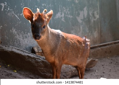 Chilean Pudu in a zoo