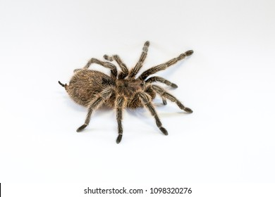 Chilean rose or flame or fire tarantula, isolated on white background