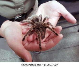 Chilean Rose-Haired Tarantula being held in hands.