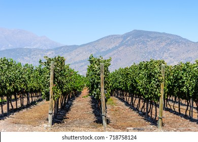 Chilean vineyards in  Maipo Valleyr, close to the capital Santiago de Chile, sunny day and mountains