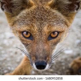 chilean wild fox on atacama desert