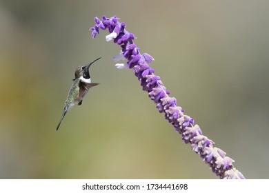 A Chilean Woodstar hovering near Salvia leucantha flowers.