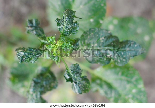 Chili Broad Mite Chill Thrips Major Stock Photo (Edit Now) 787596184