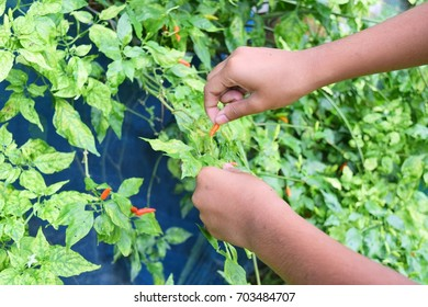 Chili collection of farmers