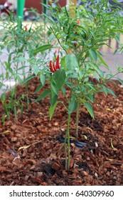 Chili garden