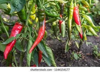 Chili pepper bush.