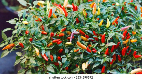 chili pepper (chile, chile pepper, chilli pepper or chilli) spicy fruit of Capsicum plants used for food and traditional medicine. Capsaicin in chilli as a spice gives heat to dishes in many cuisines