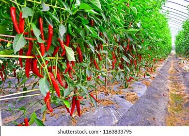 chili pepper field, hot pepper, korean hot pepper, red pepper