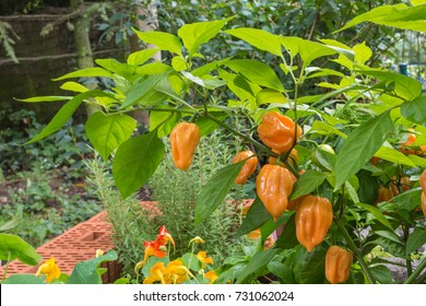 chili pepper plant with habaneros which are very hot and rated 100,000 to 350,000 on the Scoville scale