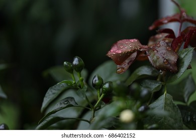 Chili plant with water drops