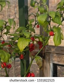 Chille Pepper 'Carolina Reaper' (Capsicum annuum) Growing in a Greenhouse in Rural Devon, England, UK