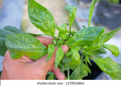 Chilli mosaic virus (CMV) is common disease of chilli. The leaves turned to unequal yellowish green.