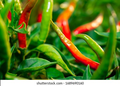Chilli pepper garden concept, organic chillies vegetable planting in farm countryside, red and green fruit peppers on stem for havesting to cooking and sell in market