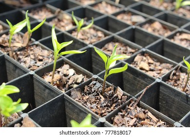 Chilli Pepper Seedling Tray in the Sun