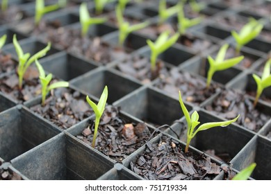 Chilli Pepper Seedlings in a Tray