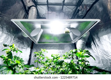 Chilli plants growing via optimised hydroponics in a gardening tent with artificial lighting and ventilation to improve growth rate and yield.