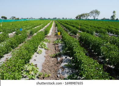 Chilli or Red pepper (Capsicum annuum) plantation or field. Crops planted at fields in India.