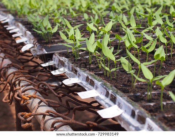 Chilli Seedlings Nursery Material Green House Stock Photo (Edit Now