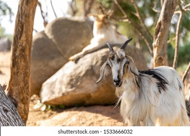 Chilling Goats in Sardenia Europe
