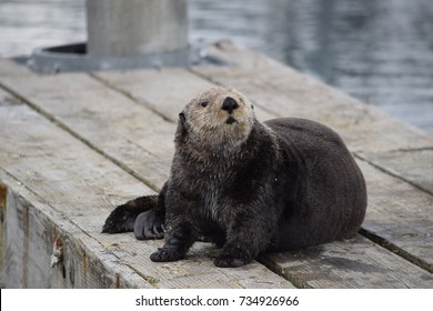Chilling sea otter lying on a pier in Seldovia, Alaska