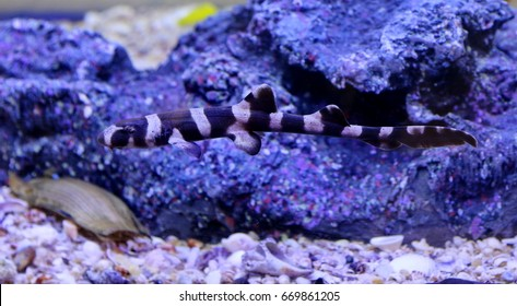 Chiloscyllium punctatum,Bamboo Shark,Brown-spotted Cat Shark,Brown-banded Catshark. Juveniles have the bands and occasionlly spots.They are found in the Indo-Pacific region. Family Hemiscylliidae.