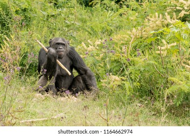Chimanzee (Pan troglodytes) - You Hum It I'll Play It