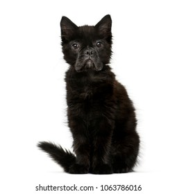chimera with a Black kitten and French Bulldog face against white background