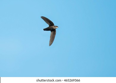 Chimney Swift flying across a clear blue sky.
