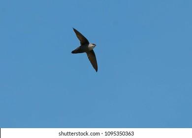 Chimney Swift flying through the clear blue sky. Ashbridges Bay Park, Toronto, Ontario, Canada.