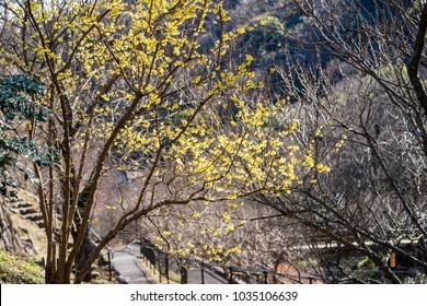 Chimonanthus praecox tree in Atami