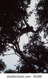 Chimp changing trees in rainforest