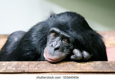 Chimp chimpanzee chimp monkey ape (Pan troglodytes) sad great chimp animal primate from Africa looking to camera stock photo, stock, photograph, image, picture