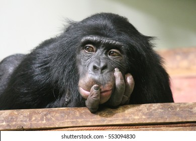 Chimp chimpanzee monkey ape sad (Pan troglodytes) great ape monkey common chimpanzee resting looking sad emotion hand to mouth stock, photo, photograph, image, picture