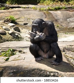 Chimp relaxing in the sun