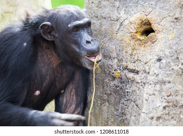 chimp using tools Common chimpanzee, Pan troglodytes (West and Central Africa)