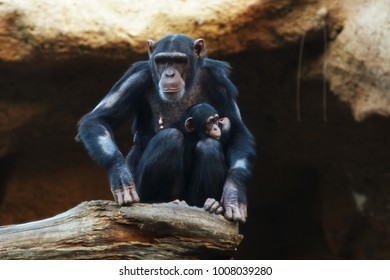 Chimpanze. Big monkey lives in tropical park