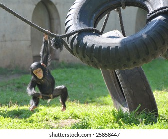 Chimpanzee baby swinging on a rope.