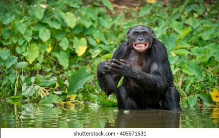 The chimpanzee Bonobo bathes with pleasure and smiles. The bonobo ( Pan paniscus), formerly called the pygmy chimpanzee and less often, the dwarf or gracile chimpanzee.
