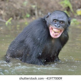 The chimpanzee  Bonobo ( Pan paniscus ) bathes with pleasure and smiles. Ape standing in water looks for the fruit which fell in water. Democratic Republic of Congo. Africa